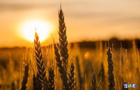 استفاده از ظرفیت بورس کالا برای صادرات گندم مازاد داخلی