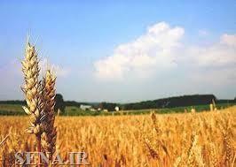معامله بیش از ۹ هزار تن گندم در تالار کشاورزی