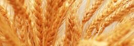 معامله ۲۰ هزار تن گندم خوراکی در بورس کالا