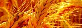 تالار صادراتی میزبان عرضه ۳۰ هزار تن گندم خوراکی