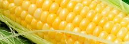 معامله بیش از ۵ هزار تن ذرت دانه ای